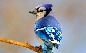 Blue jay on a branch