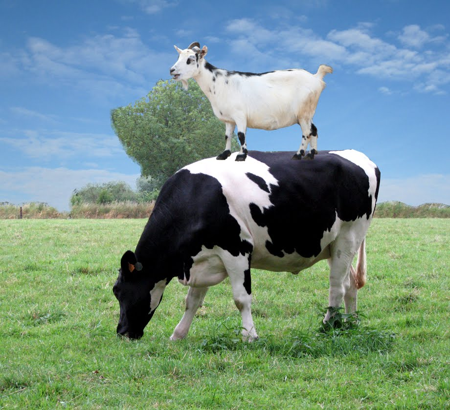 Goat standing on a cow's back