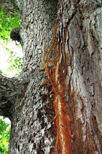 Lightning-scarred oak tree