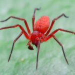 Red boxing spider