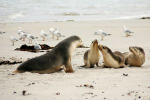 Sea lion family and seagulls on the beach