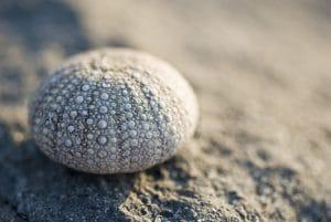 Sea urchin shell