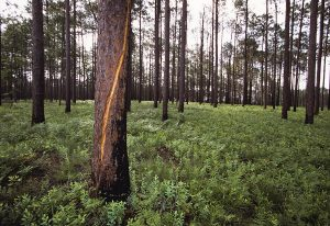 Tree scarred by lightning