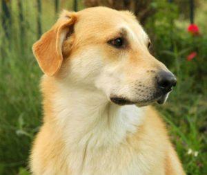Yellow farm dog